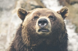 brown-bear-423202_1280
